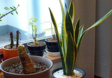 Домашни растения срещу стрес и пречистване на въздуха